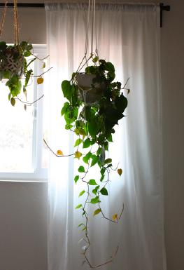 Hanging Ceiling Plants